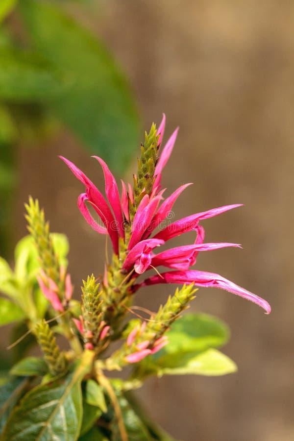 Pink bee balm spikey flower Monarda didyma royalty free stock images