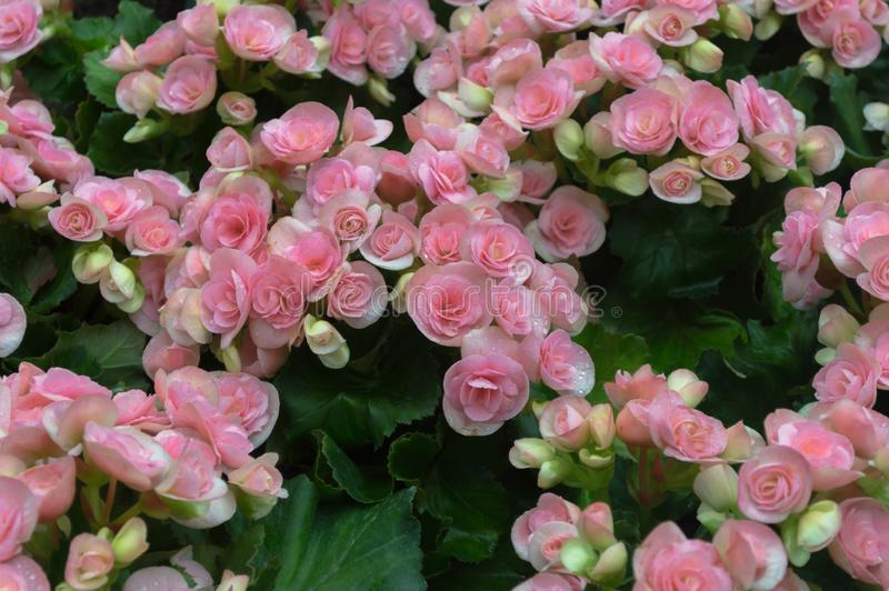 Pink begonia flower on green leaves background in the garden stock image