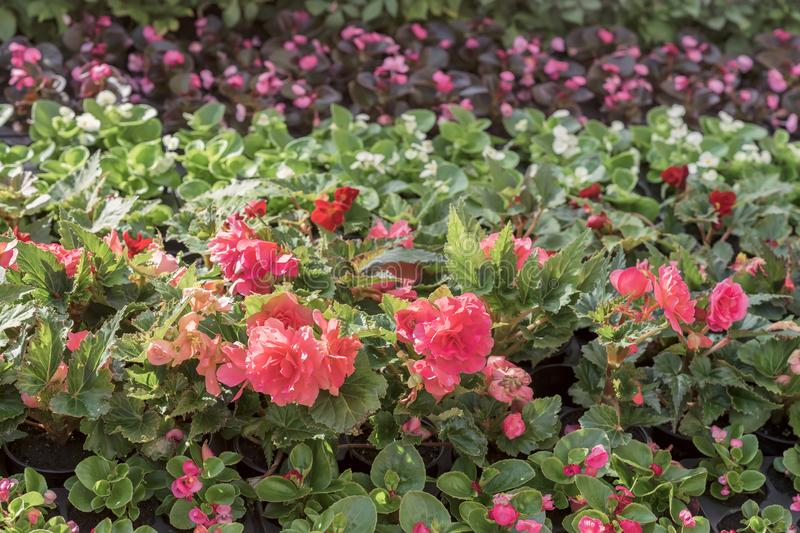 Pink begonia on the flowerbeds of the city, selective focus. Colorful brightly and vivid blooming flowers, summer floral stock photo