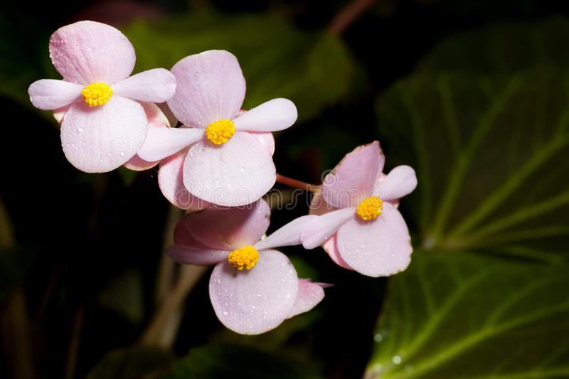 Pink Begonia Joe Hayden flower royalty free stock photography