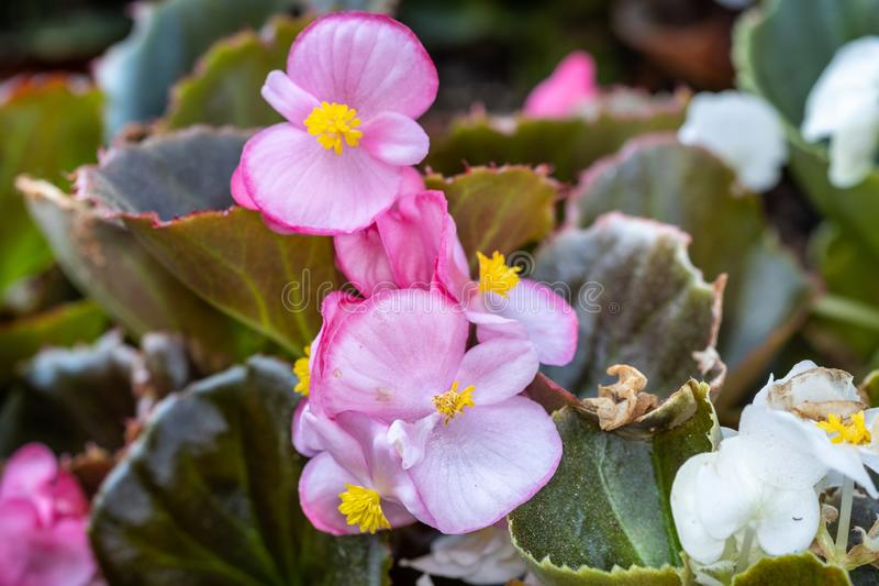 Begonia obliqua Flowers  grown at greenhouse. Pink Begonia obliqua Flowers grown at greenhouse royalty free stock images