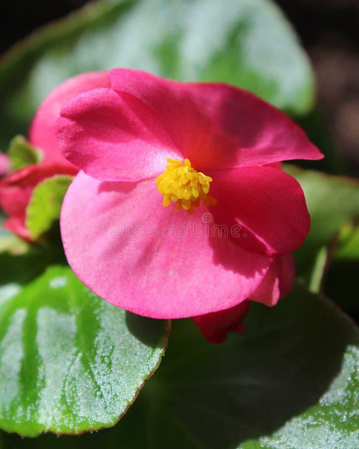 Pink Begonia semperflorens stock photos