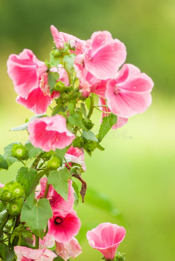 Pink bell flower bunch royalty free stock image