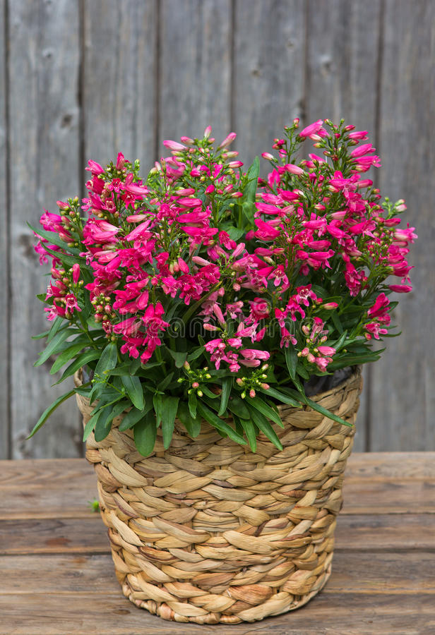 Pink Bellflowers in a Basket. royalty free stock photos