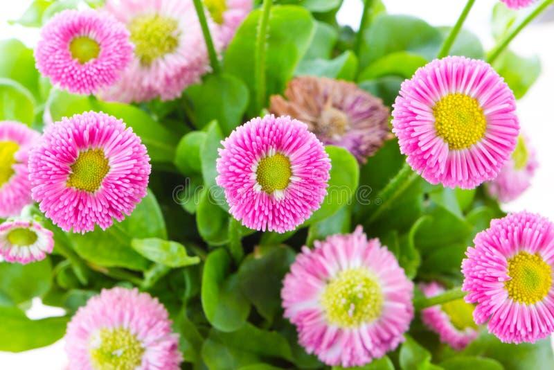 Pink bellis close up stock photo