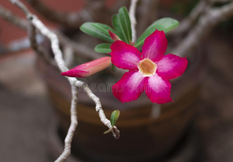 Pink bignonia flowers or Adenium flower or Adenium multiflorum on the tree and it is in the pot stock photography