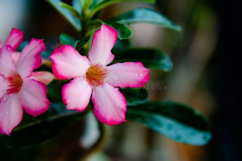 Pink Bignonia flowers or Adenium flowers, Adenium multiflorum royalty free stock images