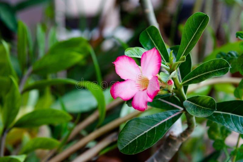 Pink Bignonia flowers or Adenium flowers, Adenium multiflorum stock image