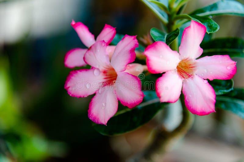 Pink Bignonia flowers or Adenium flowers, Adenium multiflorum stock photography