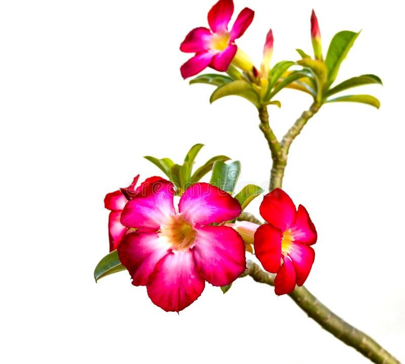 Download Pink Bigononia Eller Desertera Rose Fotografering för Bildbyråer - Bild av leaf, färg: 27279713