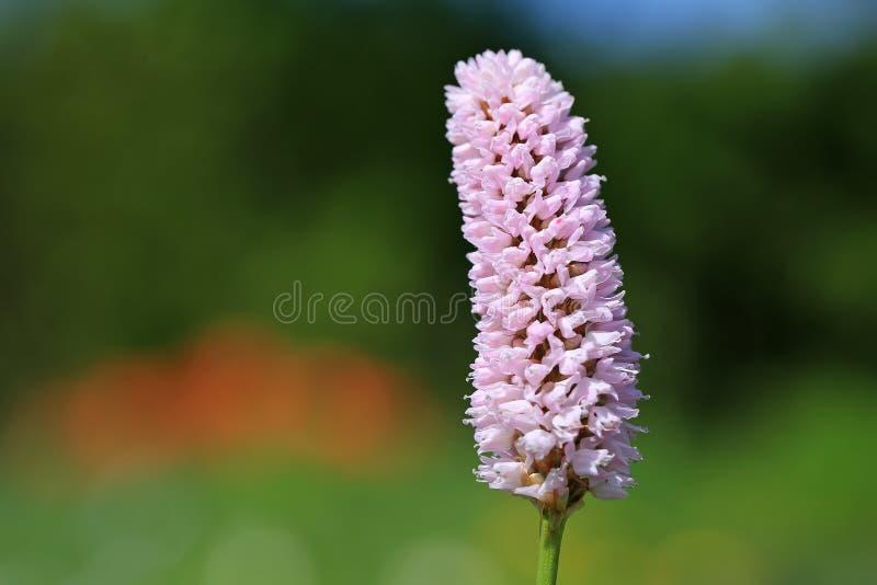 Pink Bistorta Flower at Spring royalty free stock images