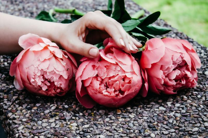 Pink bloomed peonies stock images