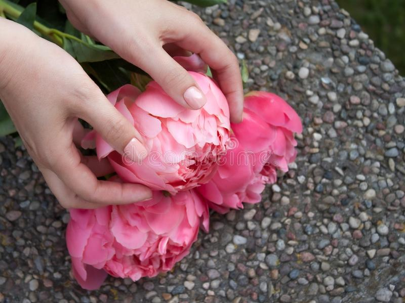 Pink bloomed peony in hands. royalty free stock photo