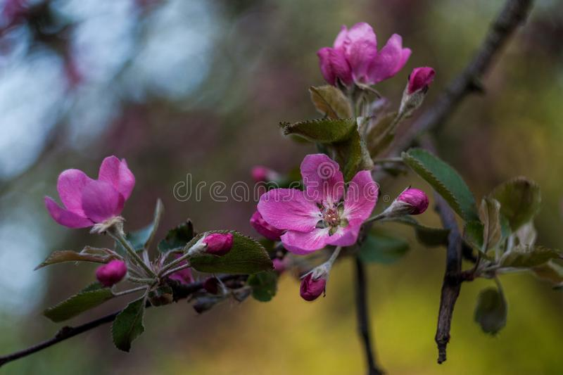 Pink blooming apple branch, great design for any purposes. Spring season. Nature background. Sunny day, spring flowers. Pink blooming apple branch, great design stock photos