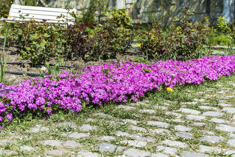 Pink blooming curved flowers in a garden. Guinea Hybrid Impatiens flowers in a park stock photos