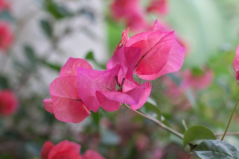 Pink blooming flower Thai stock photo