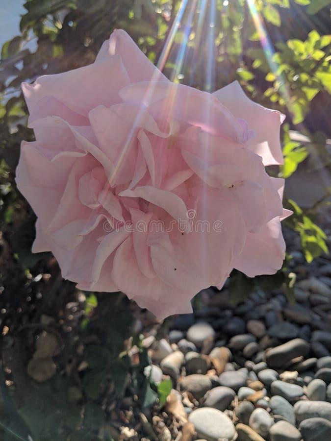 Pink blooming rose stock photos