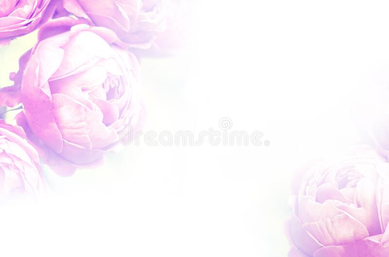 Pink blooming roses close up, romantic love wedding background royalty free stock image