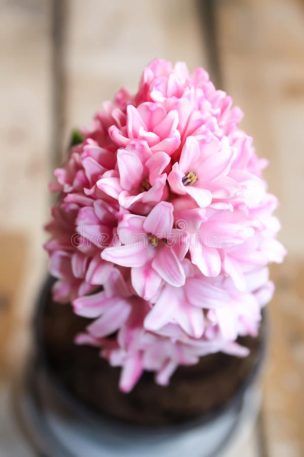 Pink blooming spring hyacinth flower in a pot close up. royalty free stock image