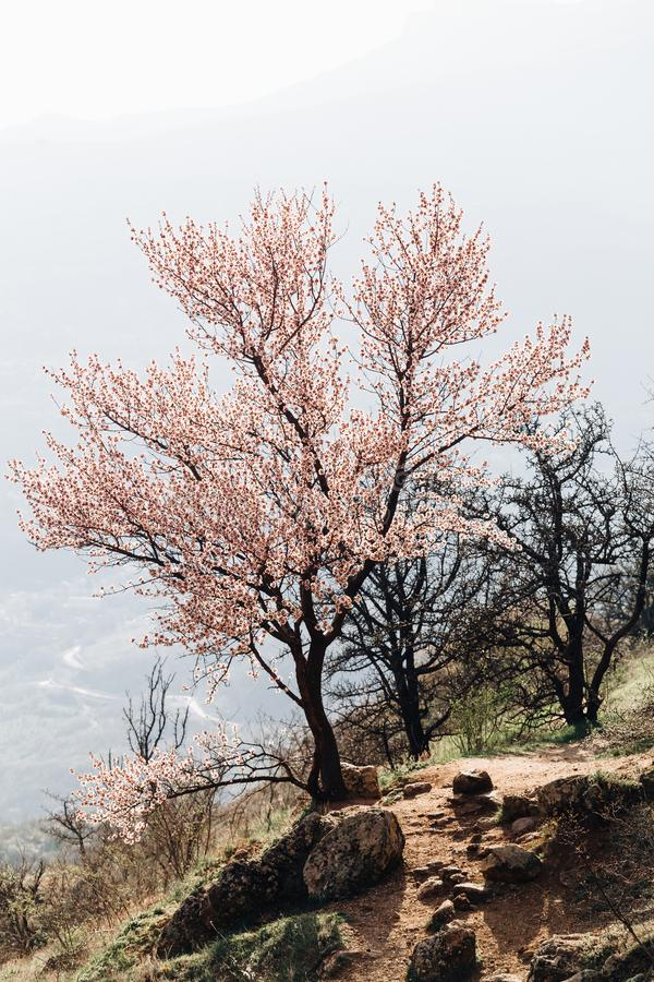 Pink blooming tree in the mountains in the ghost valley in the Crimea stock photos
