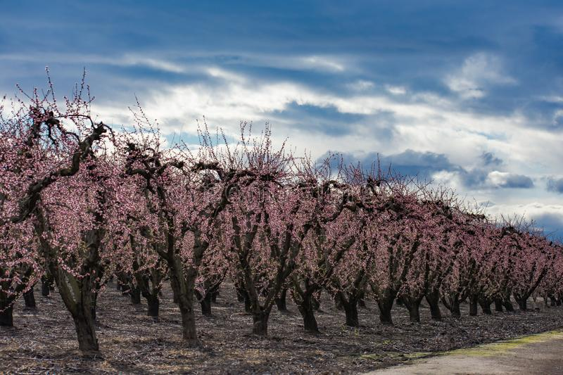 Pink Orchards in Full Bloom. Peach Pink orchards are now in full bloom in Central California royalty free stock image