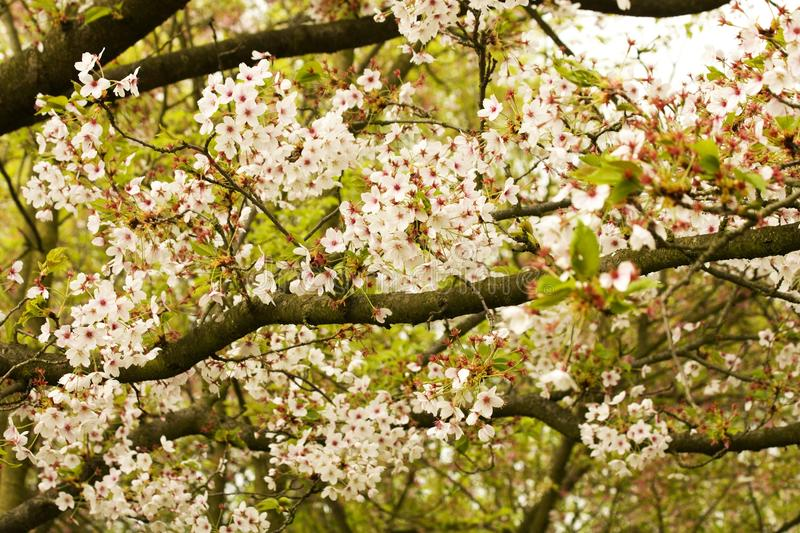 Pink blooms on flowering cherry tree. Close up of pink blooms on branches of flowering cherry tree on sunny spring day royalty free stock images