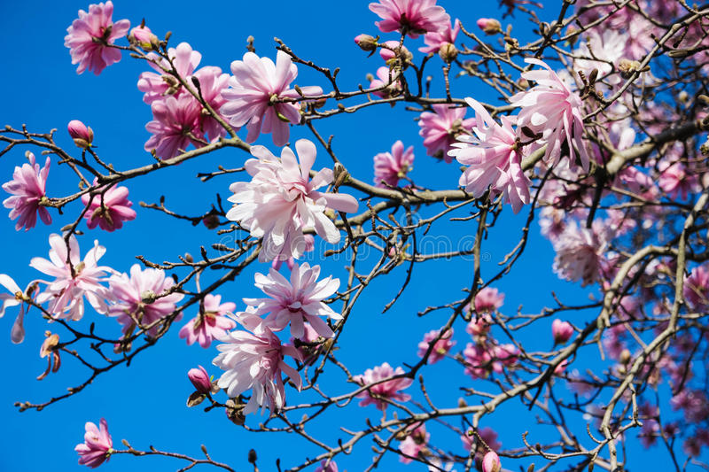 Pink Blossom and Blue Sky stock photography