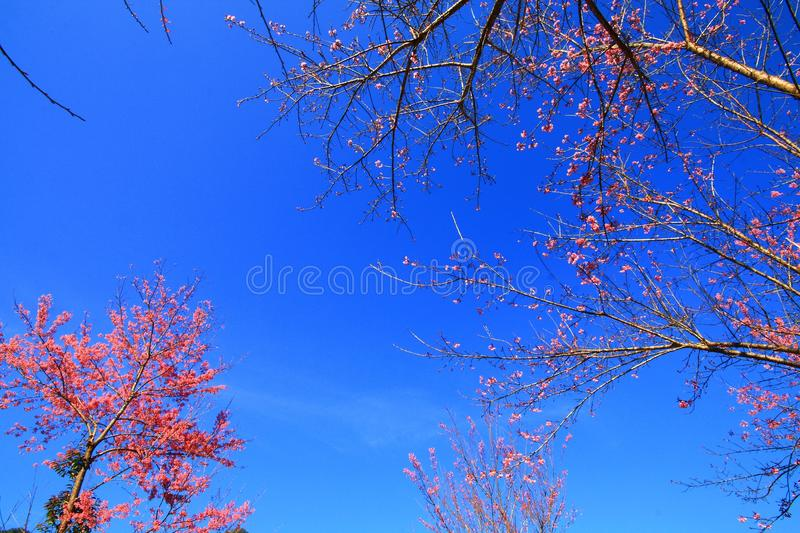 Pink blossom with blue sky royalty free stock images