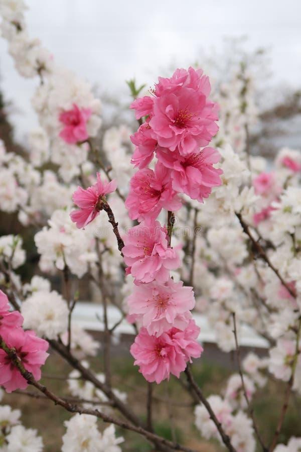 Pink, Blossom, Flower, Cherry Blossom stock images
