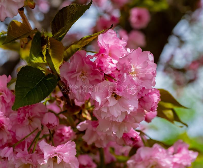 Pink, Blossom, Flower, Cherry Blossom royalty free stock image