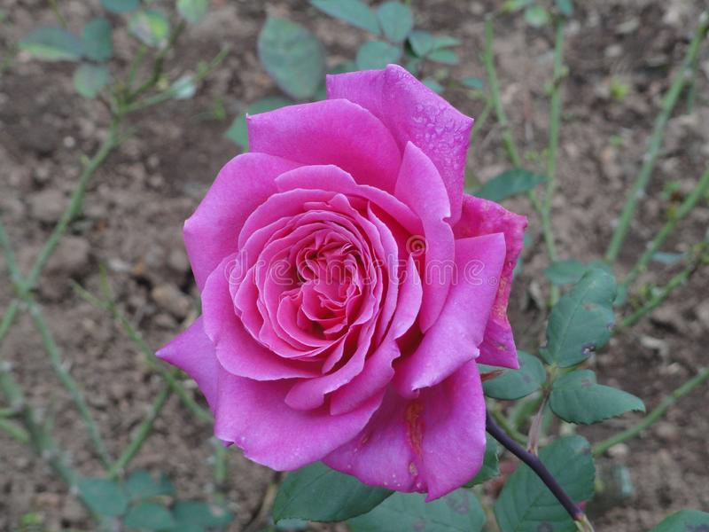 Pink blossom flower, Himalaya mountains, India. White flower,  beautiful fresh petals, Himalaya mountains, India, very rare, morning dew, Himalayan beauty stock images