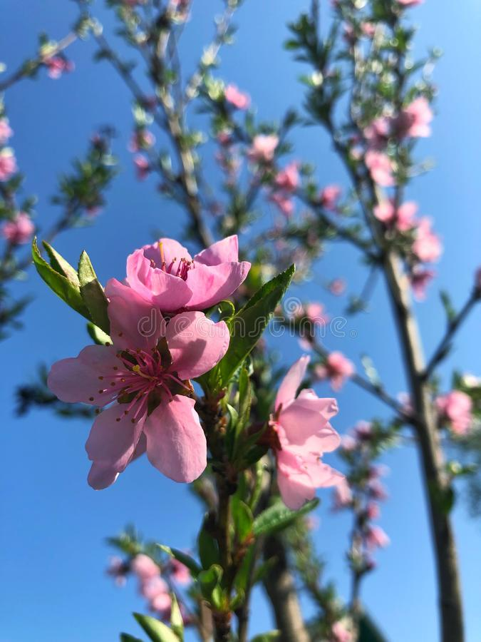 pink blossom flowers in a spring day stock image