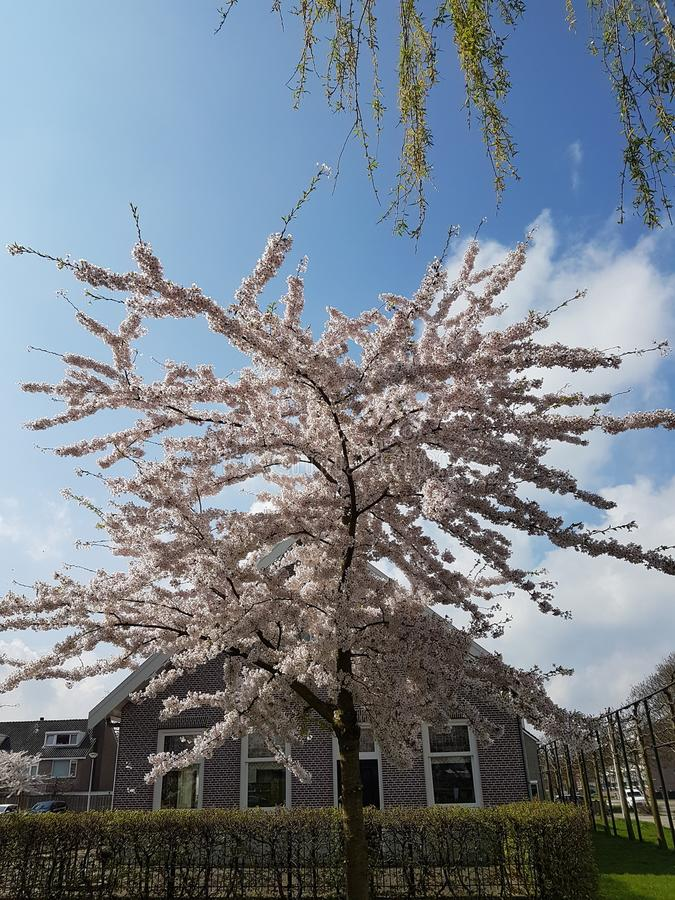 Pink blossom on a prunus tree in springtime with blue sky and white clouds. royalty free stock photo