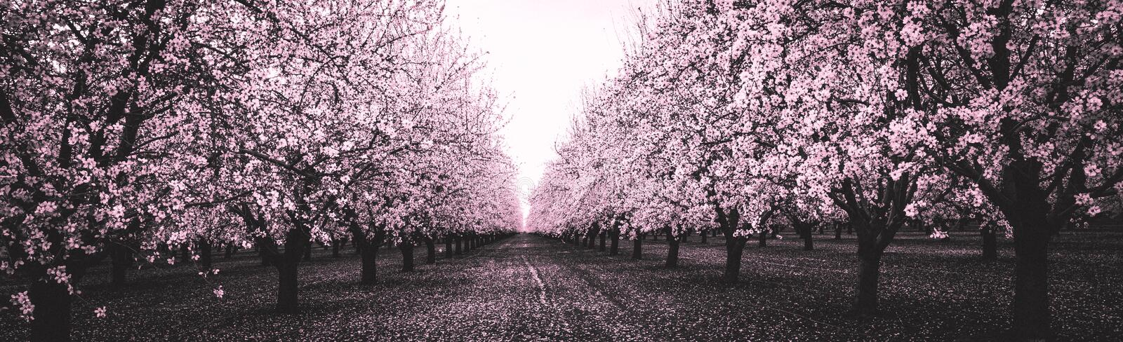 Pink Blossom Orchard in Black and White royalty free stock image