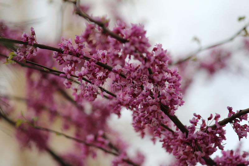 Pink, Blossom, Purple, Branch stock photography