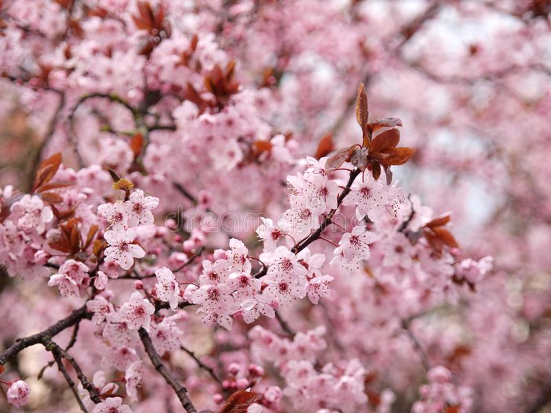 Pink blossom in spring royalty free stock photo