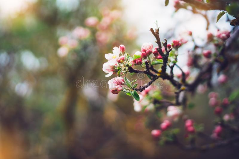 Pink blossom tree on background sun flare in green spring garden, beautiful romantic flowers in nature for card clean space. For text, blooming bud flora stock photography