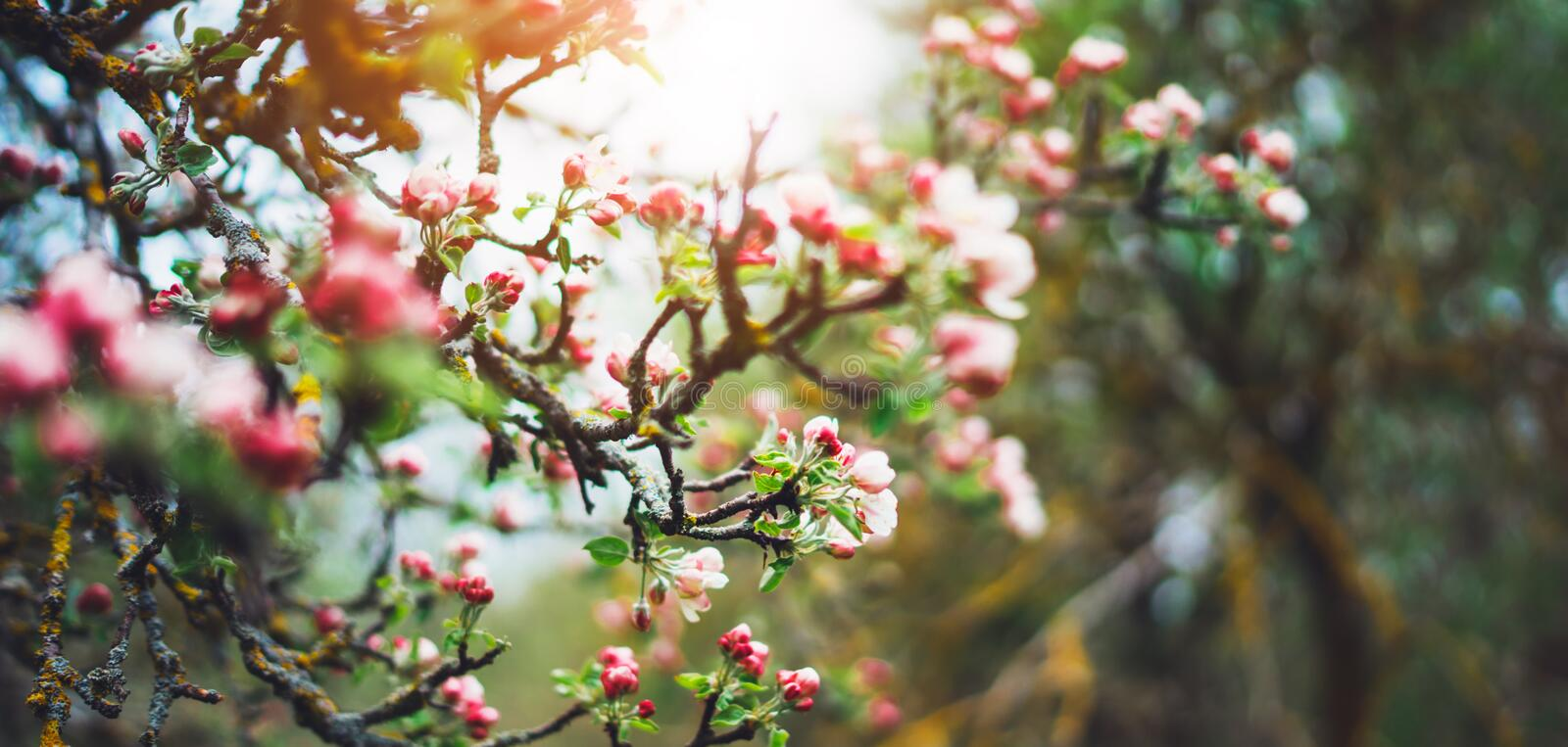 Pink blossom tree on background sun flare in green spring garden, beautiful romantic flowers in nature for card clean space. For text, blooming bud flora stock image