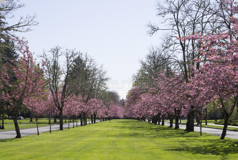 Download Pink Blossom tree road stock photo. Image of airfield - 42891878