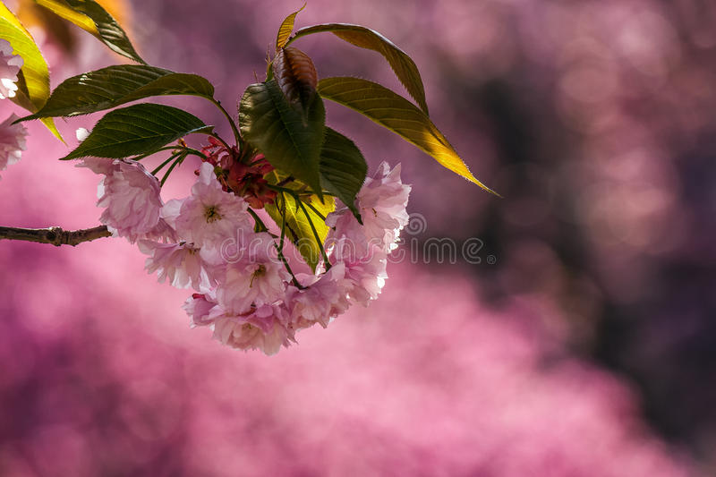 Pink blossomed sakura flowers royalty free stock photography