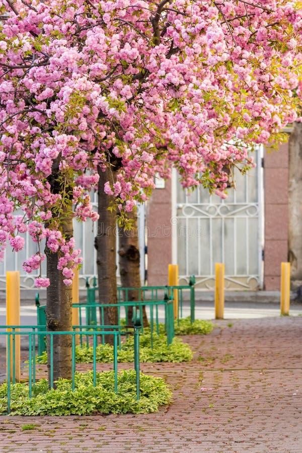 Pink blossomed sakura flowers street stock image