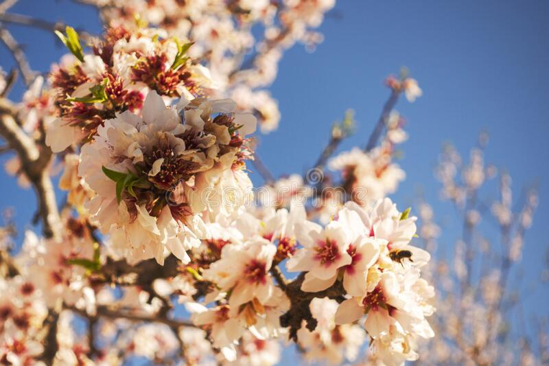 Pink blossoming almond tree on blue sky background royalty free stock image
