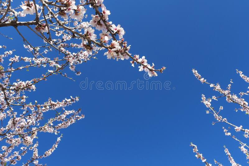 Pink blossoming almond tree on blue sky background royalty free stock photos
