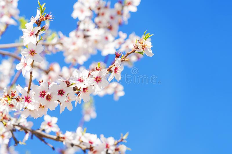 Pink blossoming almond tree on blue sky background stock image