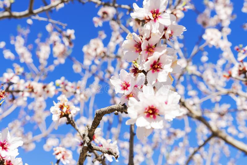 Pink blossoming almond tree on blue sky background royalty free stock photo