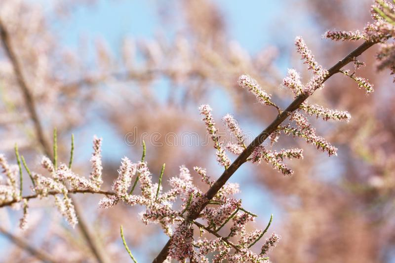 Pink blossoming tree and blue sky background. In spring stock photography