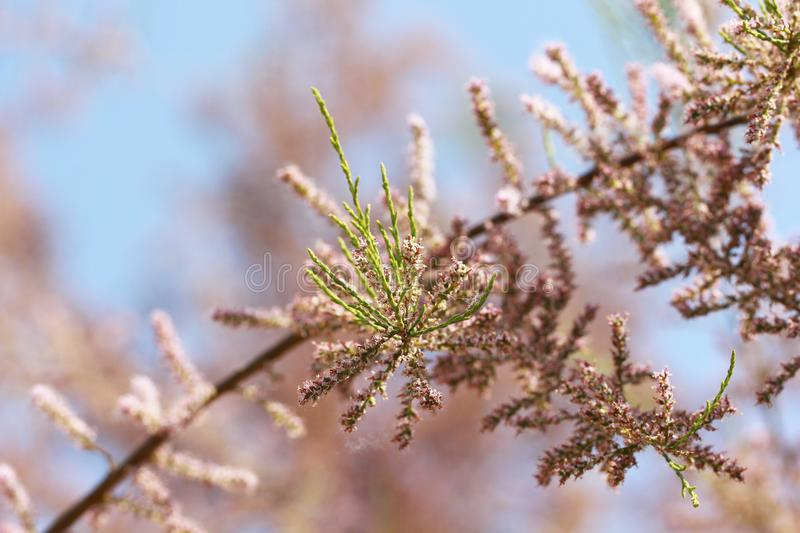 Pink blossoming tree and blue sky background. In spring royalty free stock image