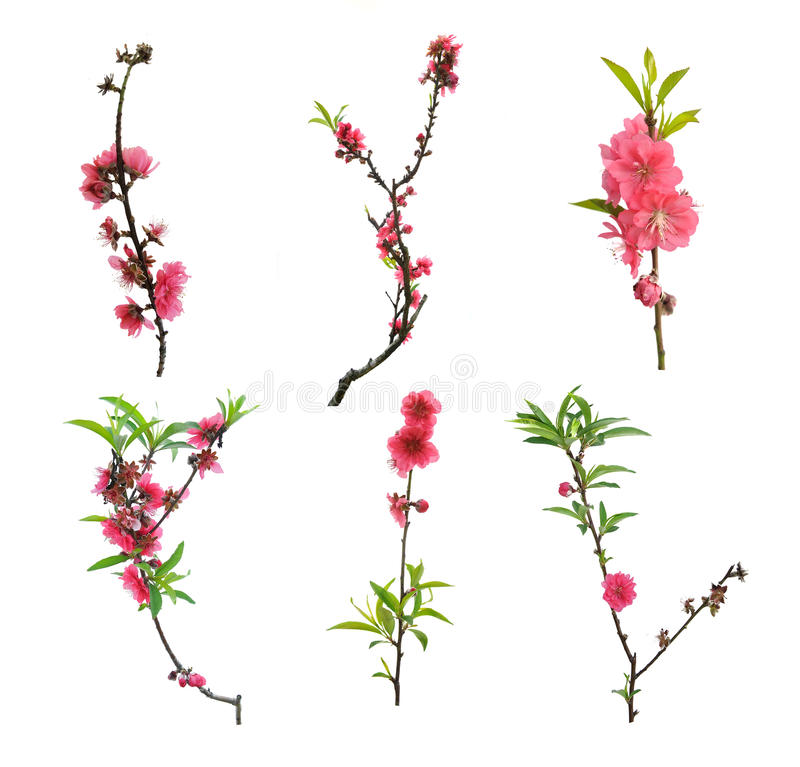Free Pink Blossoms Stock Photography - 34816942