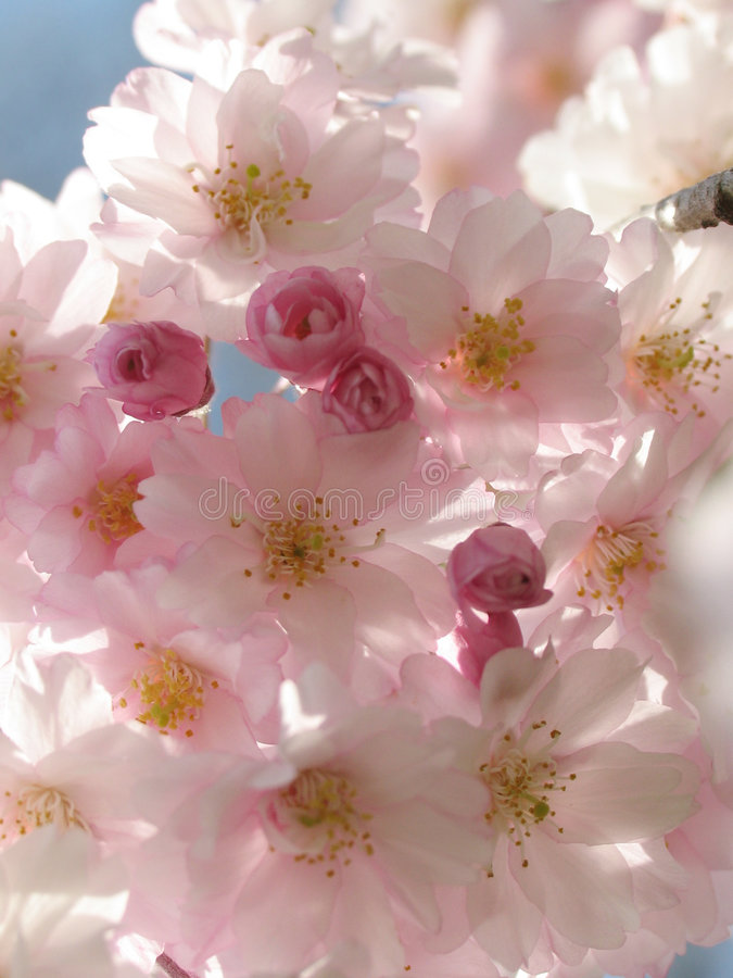 Free Pink Blossoms Royalty Free Stock Photos - 443198