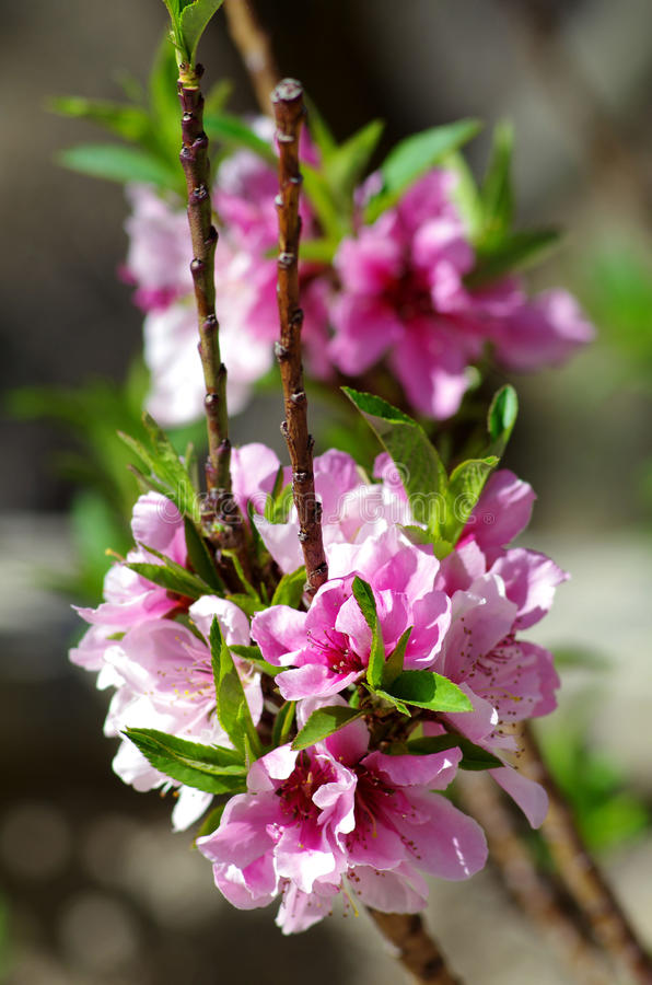 Pink Blossoms Free Public Domain Cc0 Image